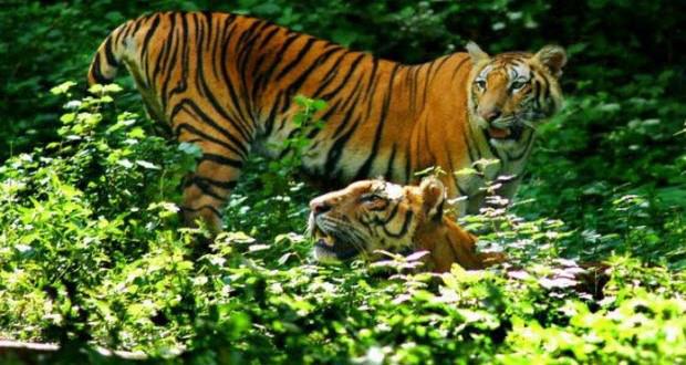 Bangladesh tiger